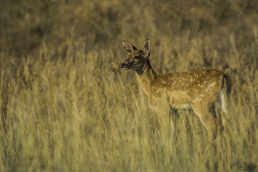 Fawn in the Golden Hour