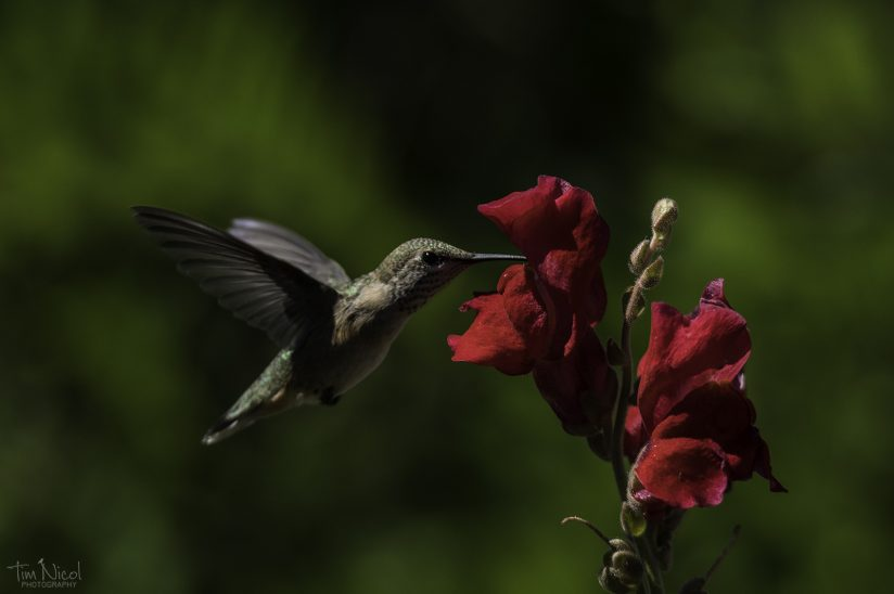 Hummingbird & Snap Dragon