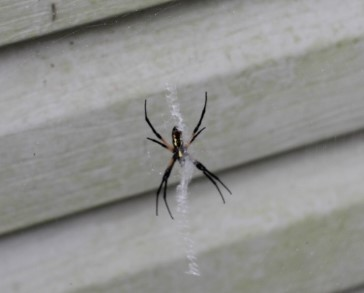 South Carolina Grass Spider