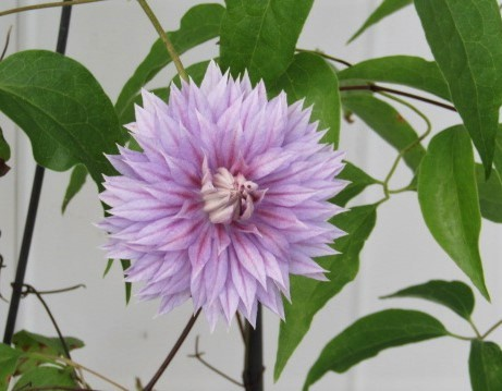 Carolina Passion Flower