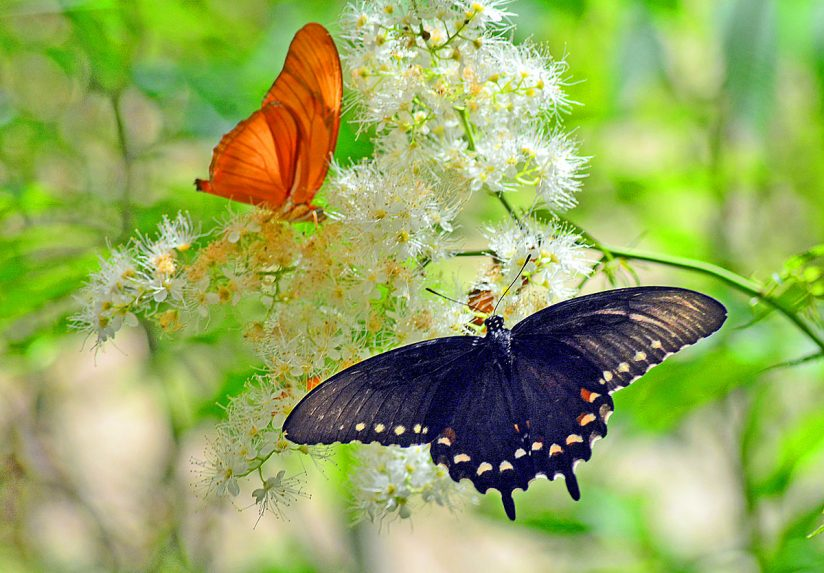 Orange Julia & Black Swallowtail